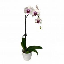 Phaleanopsis Orchid Plant vogue in a vase